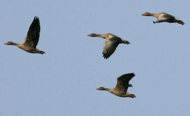 Migratory Birds Losing Love For Kashmir