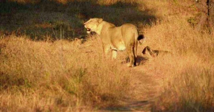 Unusual Bonding As Gir Lioness Adopts A Leopard Cub Separated From Mother In A Rare Phenomenon