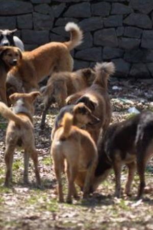50 Stray Dogs In Telangana