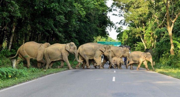 Asian Elephant endangered