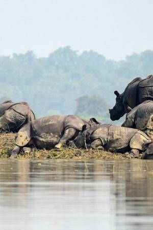 Assam Floods Rhino