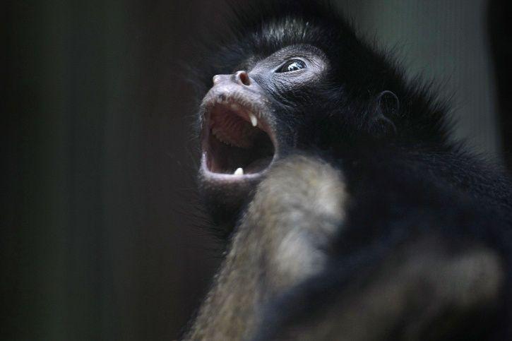 black spider monkey endangered