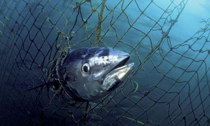 bluefin tuna endangered