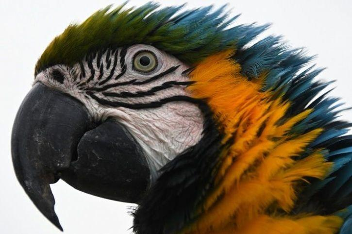 Blue-throated macaw endangered
