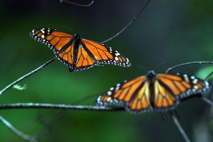 Butterfly endangered