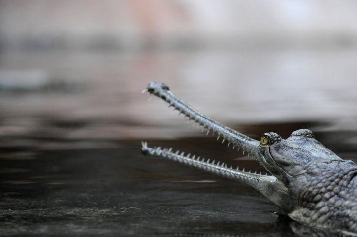 Gharial endangered