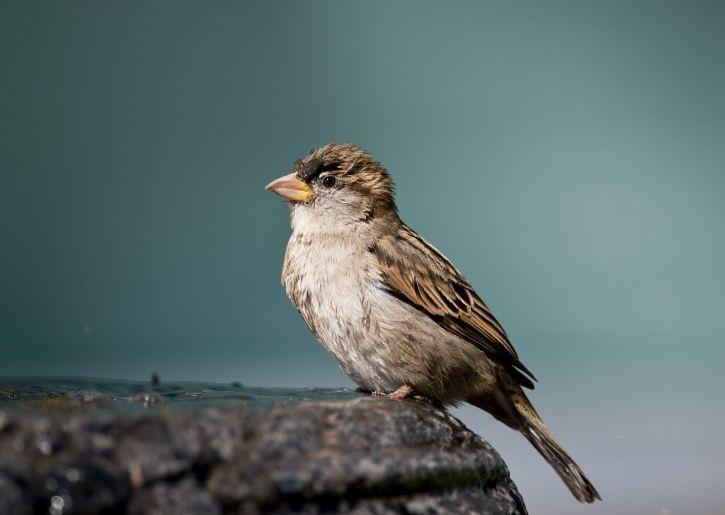 House Sparrow endangered