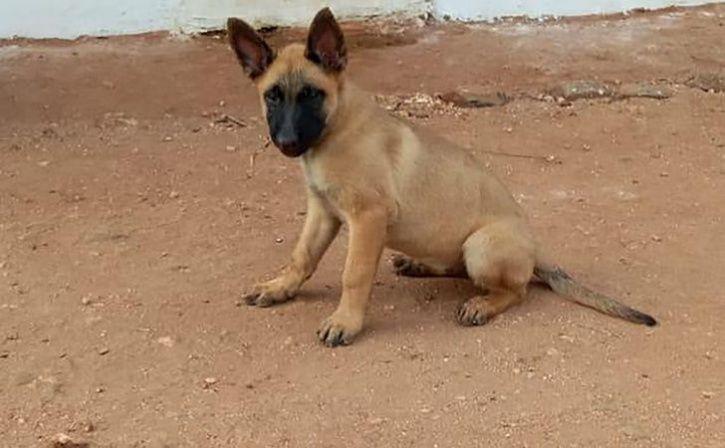 khoj a dog of belgian malinois breed
