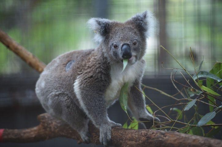 Koala Bear endangered