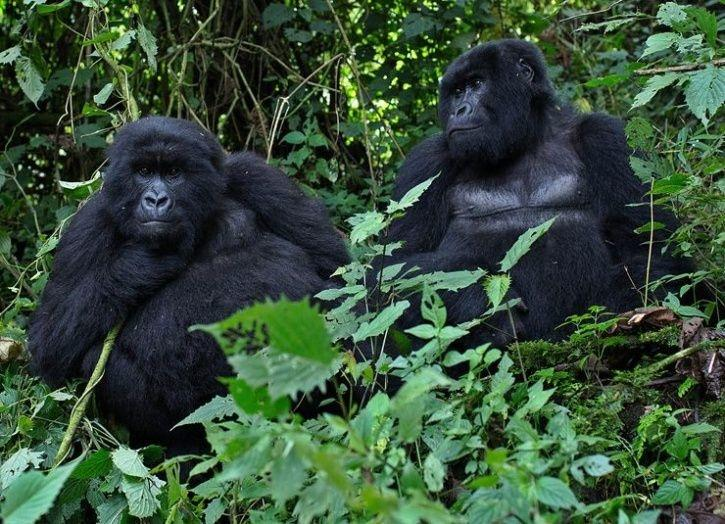 mountain gorillas endangered