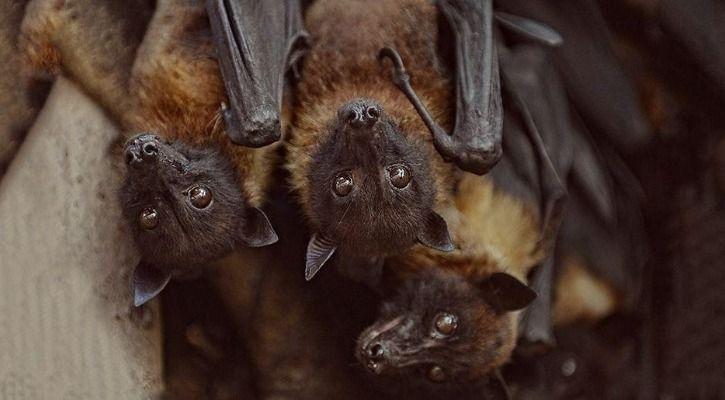 Fruit bats are hosts to Nipah Virus