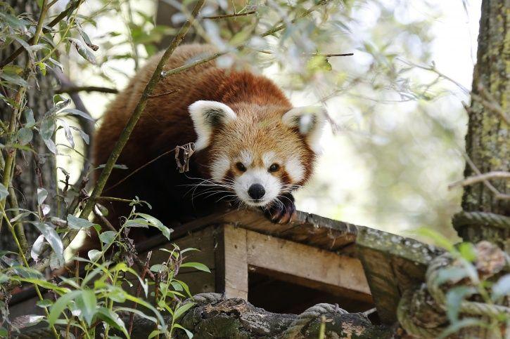 Red Panda endangered