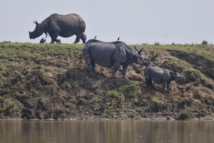 Rhinos endangered