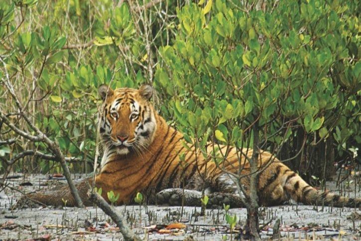 Sunderbans Forest Under Severe Stress From Rising Sea Level, Posing Risk To Royal Bengal Tiger