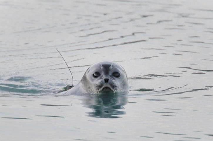 The Ringed Seal endangered