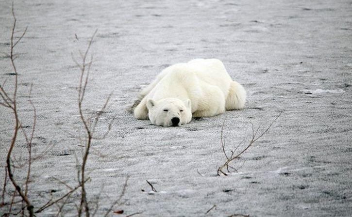 An Starving polar bear who travelled 15,00km from the arctic ocean for searching food has arrived in