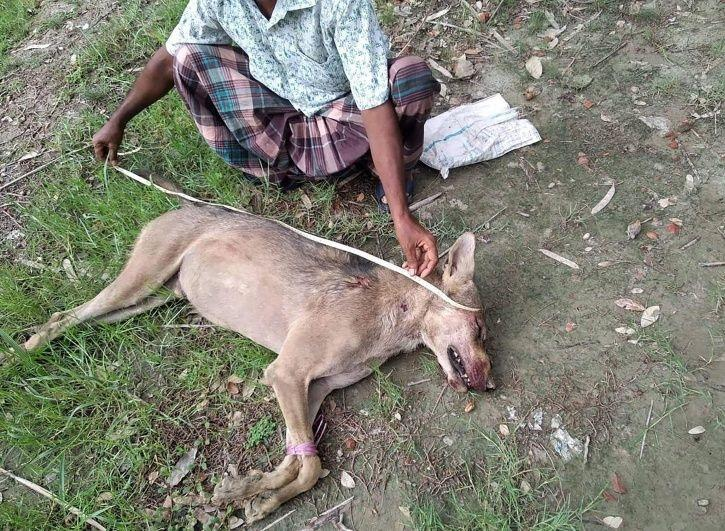 Bangladesh indian grey wolf