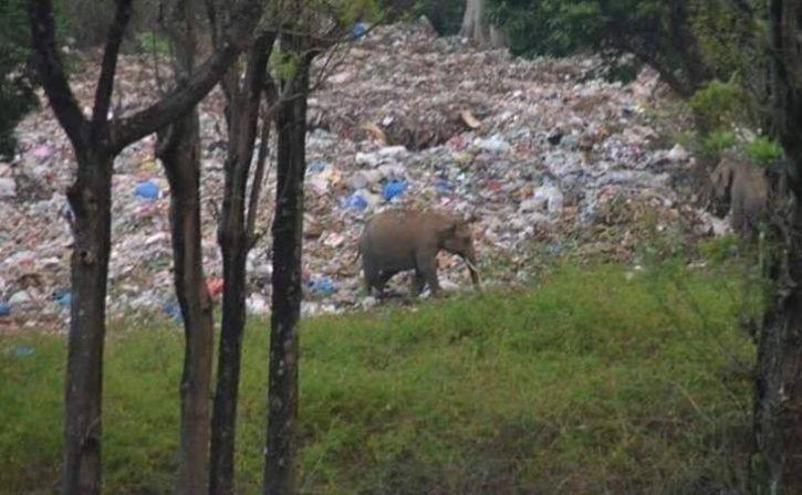 Elephant Feeding On Plastic