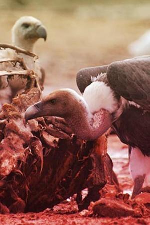 Endangered Vultures