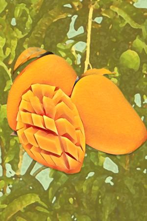 history of mango