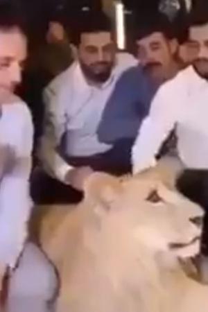 Kurdish lion
