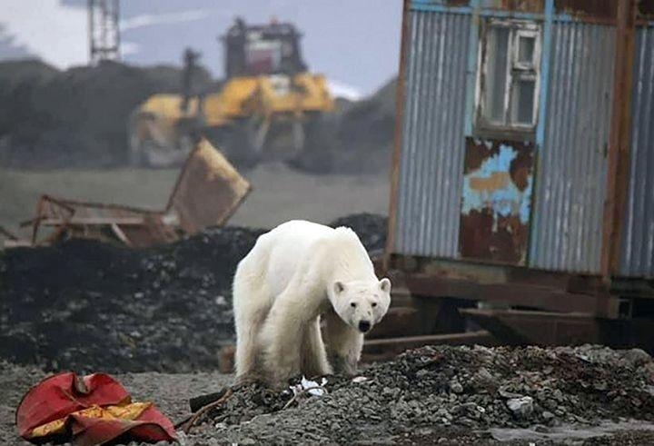 Starving & Exhausted Polar Bear Wanders Into Industrial Siberia, 1,500 Kms Away From Home