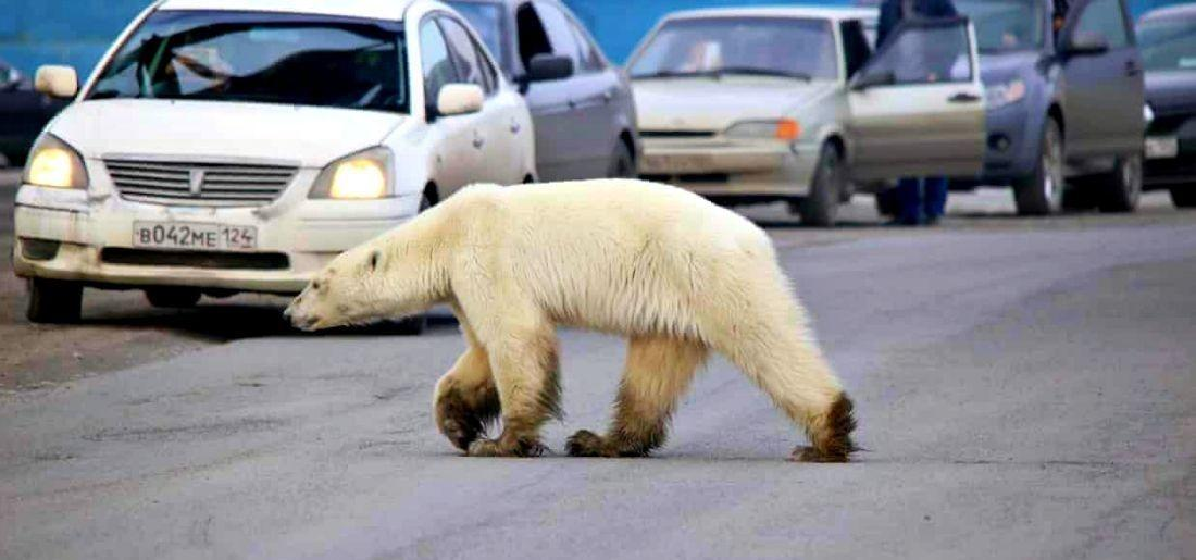 Starving & Exhausted Polar Bear Wanders Into Industrial Siberian Town, 1,500 Kms Away From Home