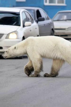 Starving Exhausted Polar Bear Wanders Into Industrial Siberian Town 1500 Kms Away From Home
