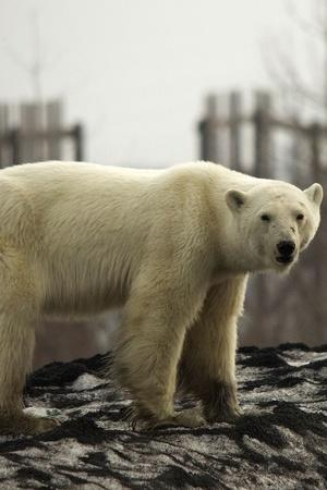 Starving Polar Bear From Russia Who Travelled 1500km For Searching Food