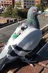 pigeon sensors