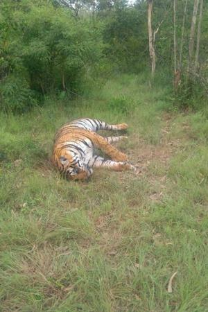 T4 tigress Maharashtra Yavatmal Injured tranquilisation frail camera Tipeshwar