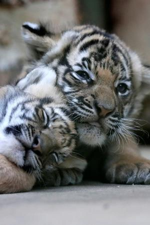 11 tiger cub in madhya pradesh forests