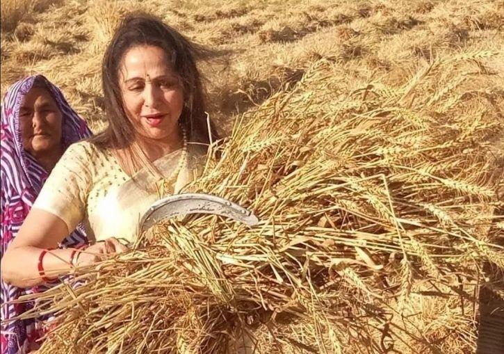 Bollywood celebs contesting elections: Hema malini harvesting as a part of election campaign.