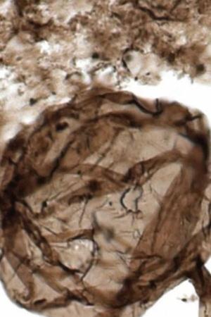 fungus fossil
