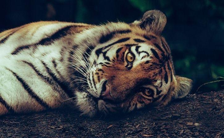 maneating tigress shot dead