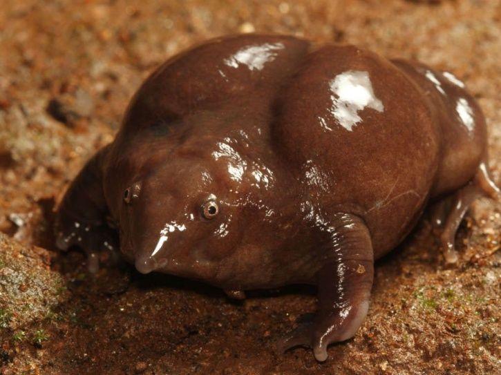 Maveli Frog