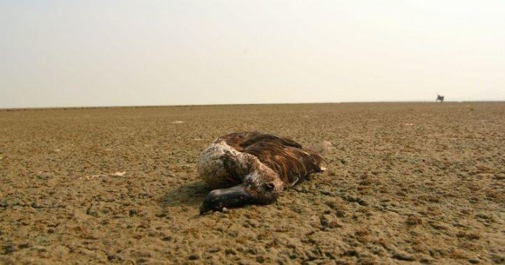 A Total Of 17,000 Migratory Birds Have Died So Far In Rajasthan's Sambhar Lake Due To Botulism