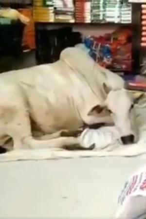 Cow AP