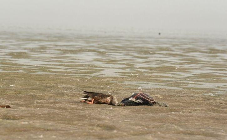 Dead Birds Found In Sambhar Lake Nawa Belt