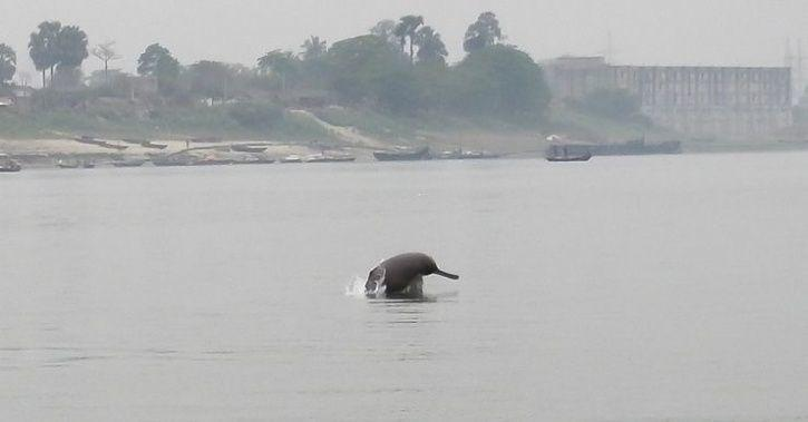 Gangetic river dolphin.