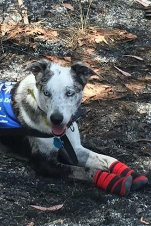 Not Just Humans Heroic Dogs Are Saving Injured Koalas From Australian Bushfires