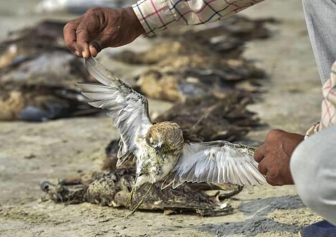 runn of kutch hailstorm, hailstorm kill migratory bird, migratory bird, migratory bird dead in gujar
