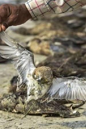 runn of kutch hailstorm hailstorm kill migratory bird migratory bird migratory bird dead in gujar