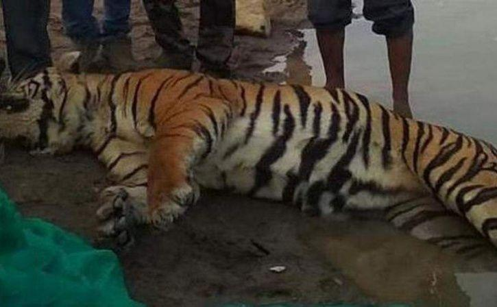 Tiger Trapped In River Rocks Dies