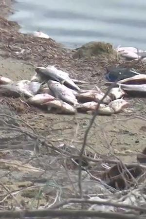 Dead Fishes Seen Floating In Backwater