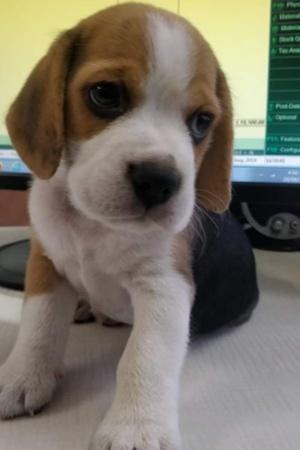 delivery boy steals puppy