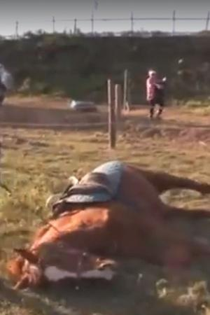 Horse plays dead