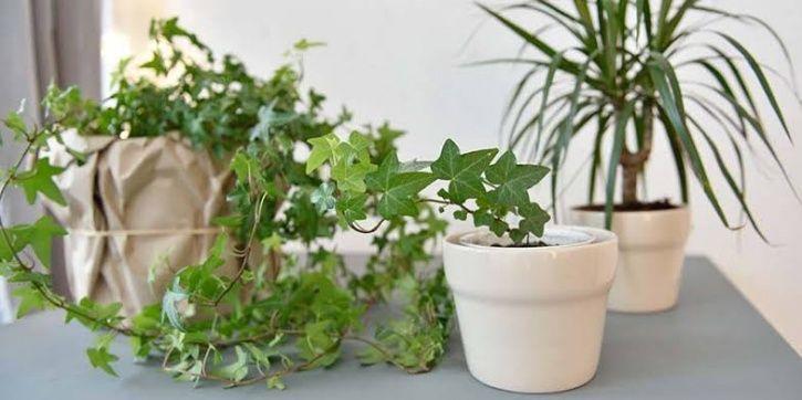 Money Plant, Indoor plants, tulsi, money plant, Bamboo palnt, pollution