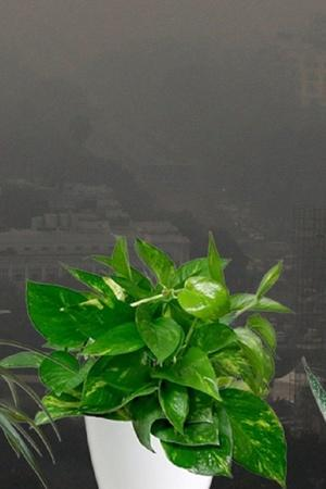 Money Plant Indoor plants tulsi money plant Bamboo palnt pollution