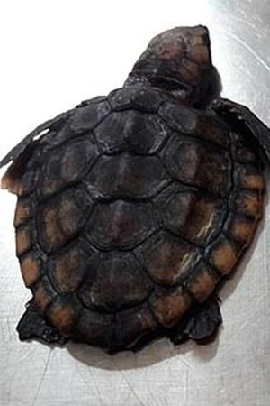 tiny turtle found dead